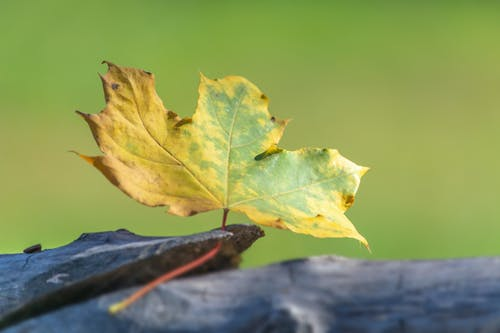 Free stock photo of autumn, leaf, tree