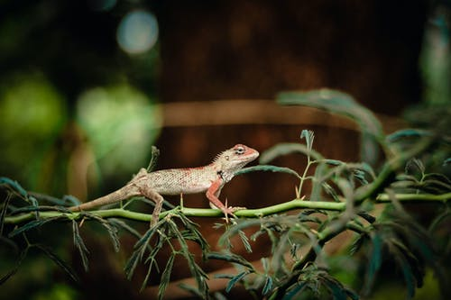 Brown Lizard Crawling on a Branch
