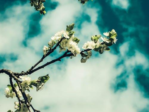 Photos gratuites de beauté dans la nature, belle fleur, blanc, bleu