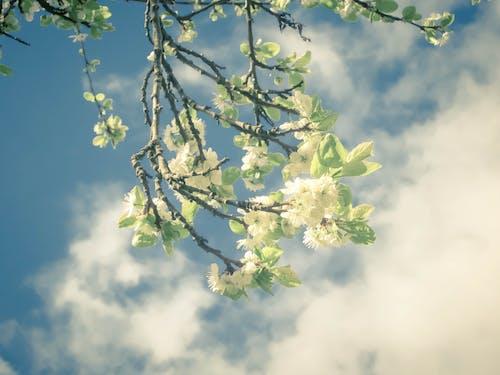 Foto stok gratis alam, apel mekar, berbunga, biru
