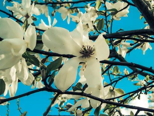 Foto stok gratis alam, berbunga, biru, bunga putih