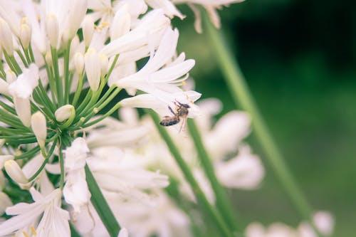 Photos gratuites de abeille, beauté dans la nature, belle fleur, blanc
