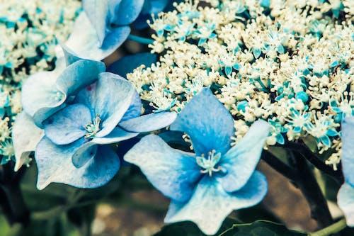 Ingyenes stockfotó gyönyörű virág, gyufa feje, hortenzia, kék témában
