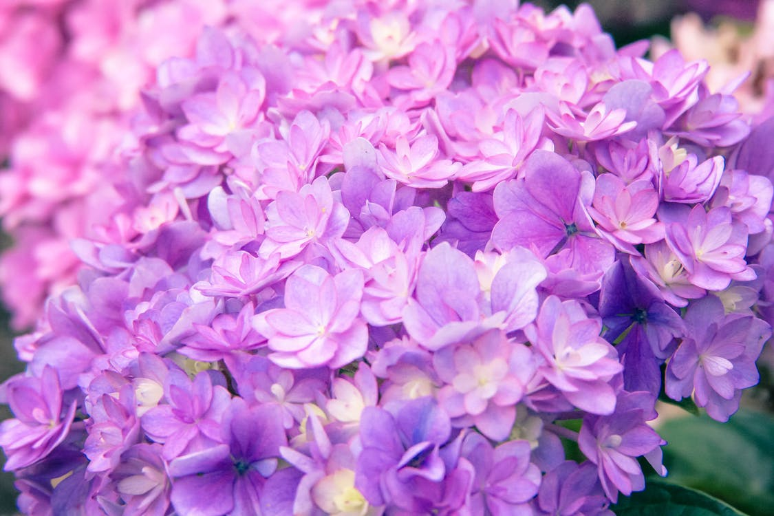 alam, berbunga, berwarna merah muda