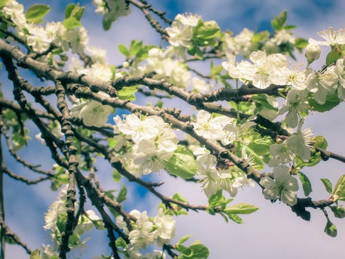 Free stock photo of apple blossom, apple tree, beautiful flower, beauty in nature
