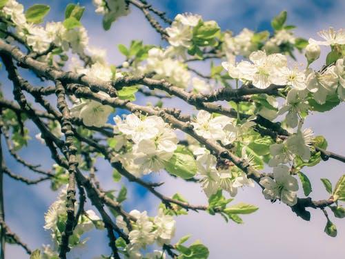 Ingyenes stockfotó almafa, almavirág, fehér, fehér virág témában