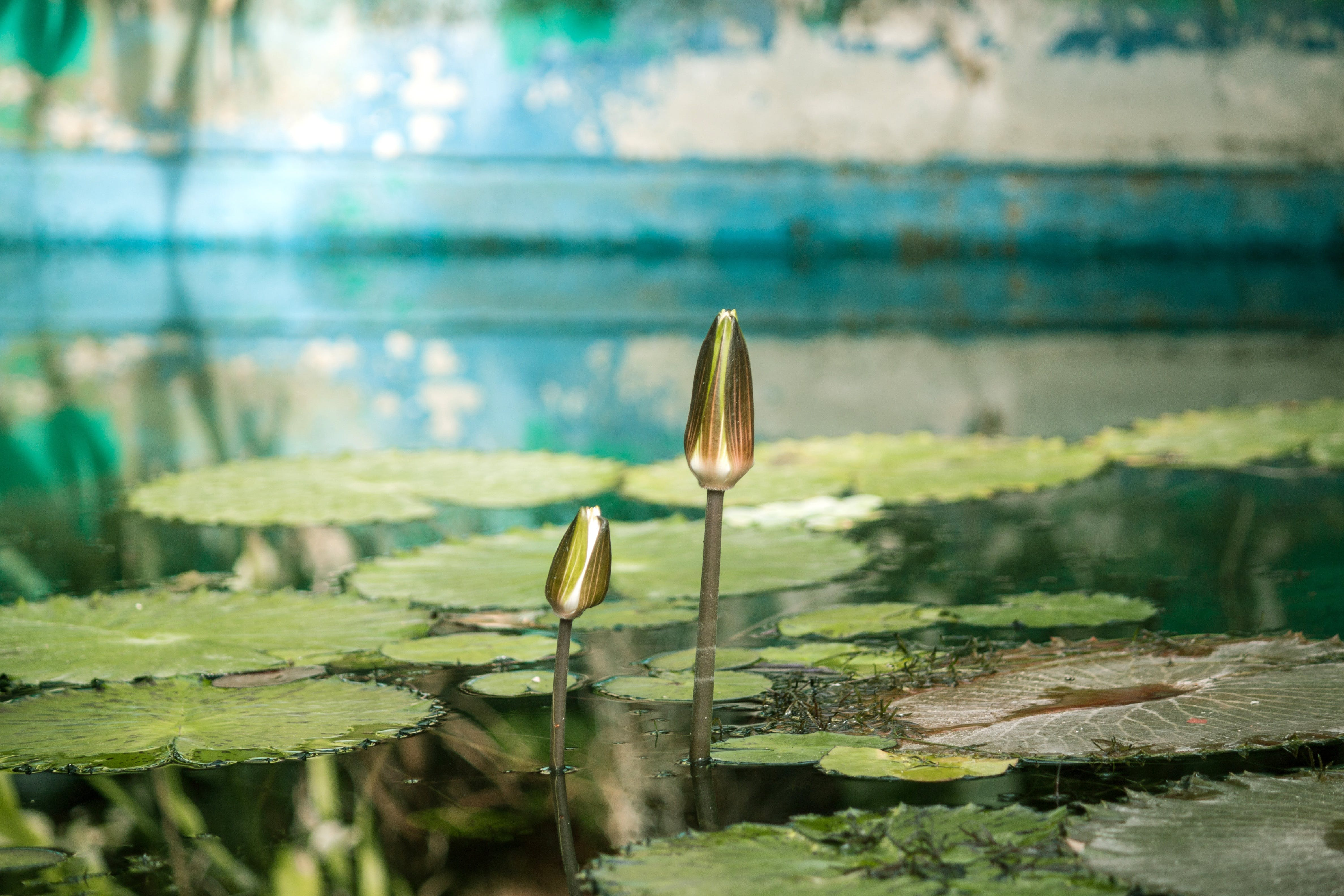 Free stock photo of greenhouse, leaves, lily, pool