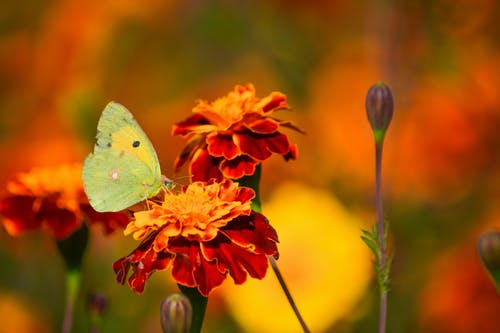 Free stock photo of butterfly, daisy, flower, nature