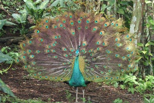 Kostnadsfri bild av påfågel med färgrik fjäder