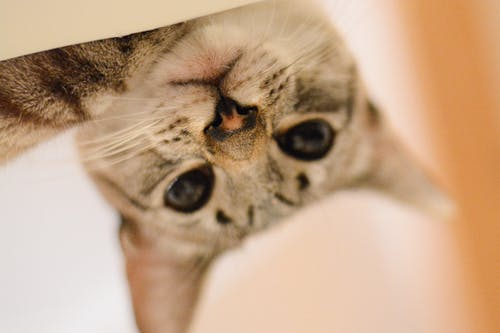 Free stock photo of cats, competition, domestic cat