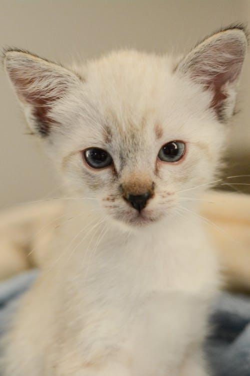 Darmowe zdjęcie z galerii z biały, koci, kociak, kot