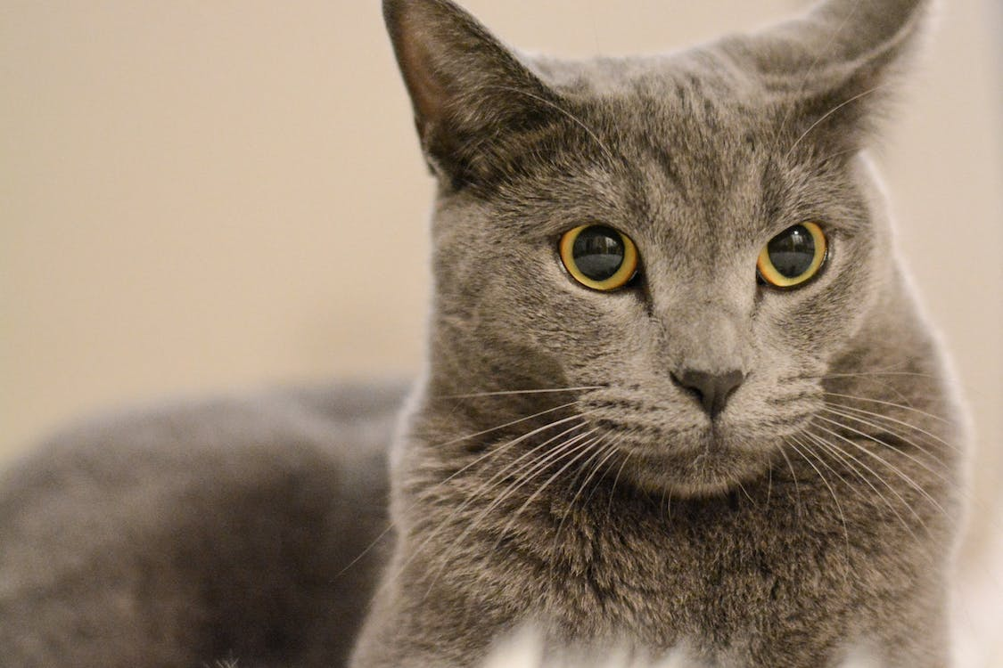 Selective Focus Close-up Photo of Chartreux Cat Lying Down