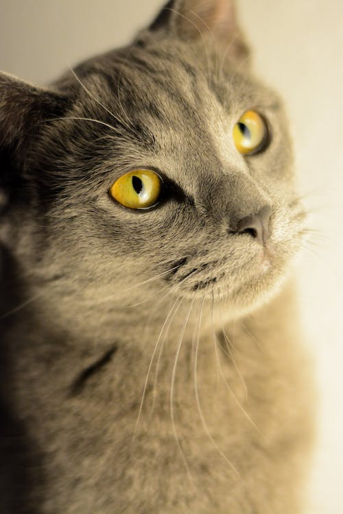 Close-Up Photo of Grey Cat