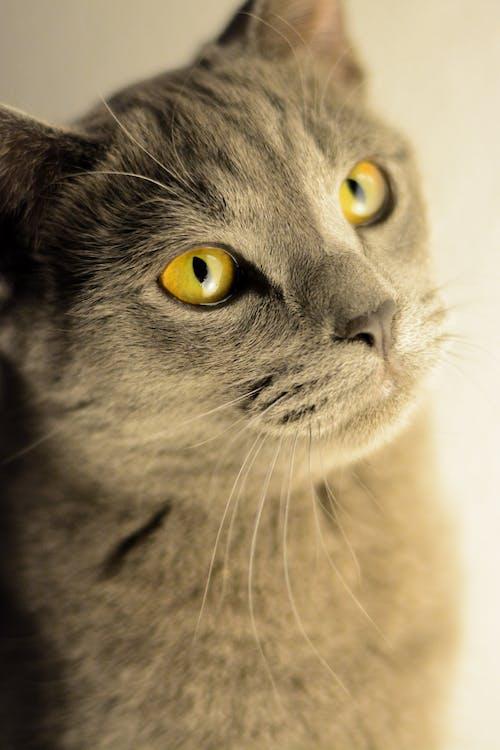 Close-Up Photo of Grey Cat
