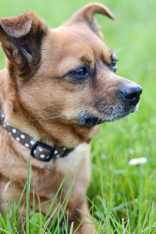Free stock photo of chihuahua, competition, dog