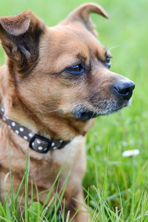 Fotos de stock gratuitas de chihuahua, competición, mascota, perro