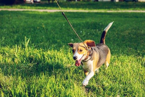 Δωρεάν στοκ φωτογραφιών με background, beagle, αξιολάτρευτος, βάθος