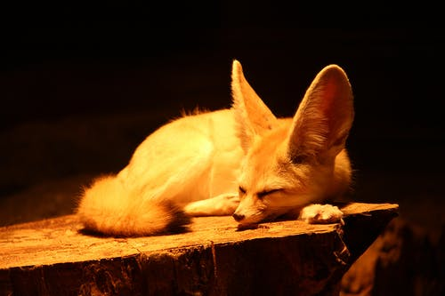 Fennec fox with long ears and fluffy tail sleeping on wood in yellow light