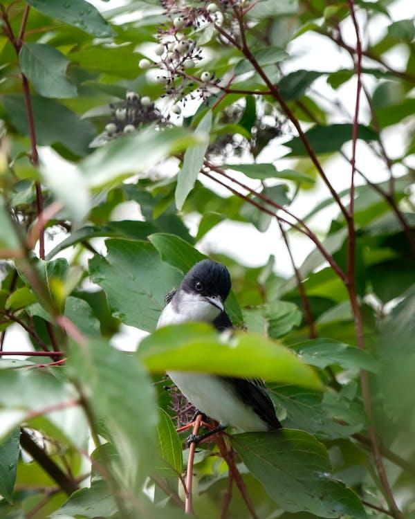 arbust, au, ocell