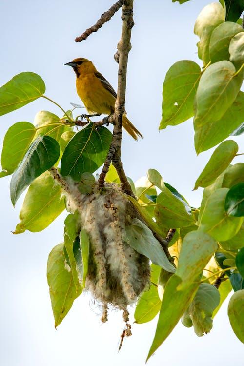 Fotobanka sbezplatnými fotkami na tému bullocksoriole, hniezdo, vtáčie hniezdo, vták