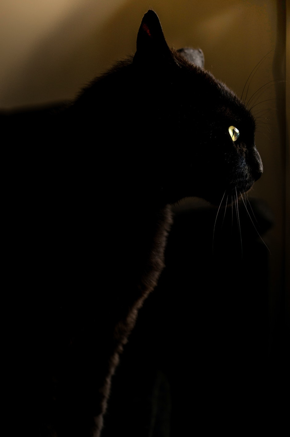 animal, black, cat