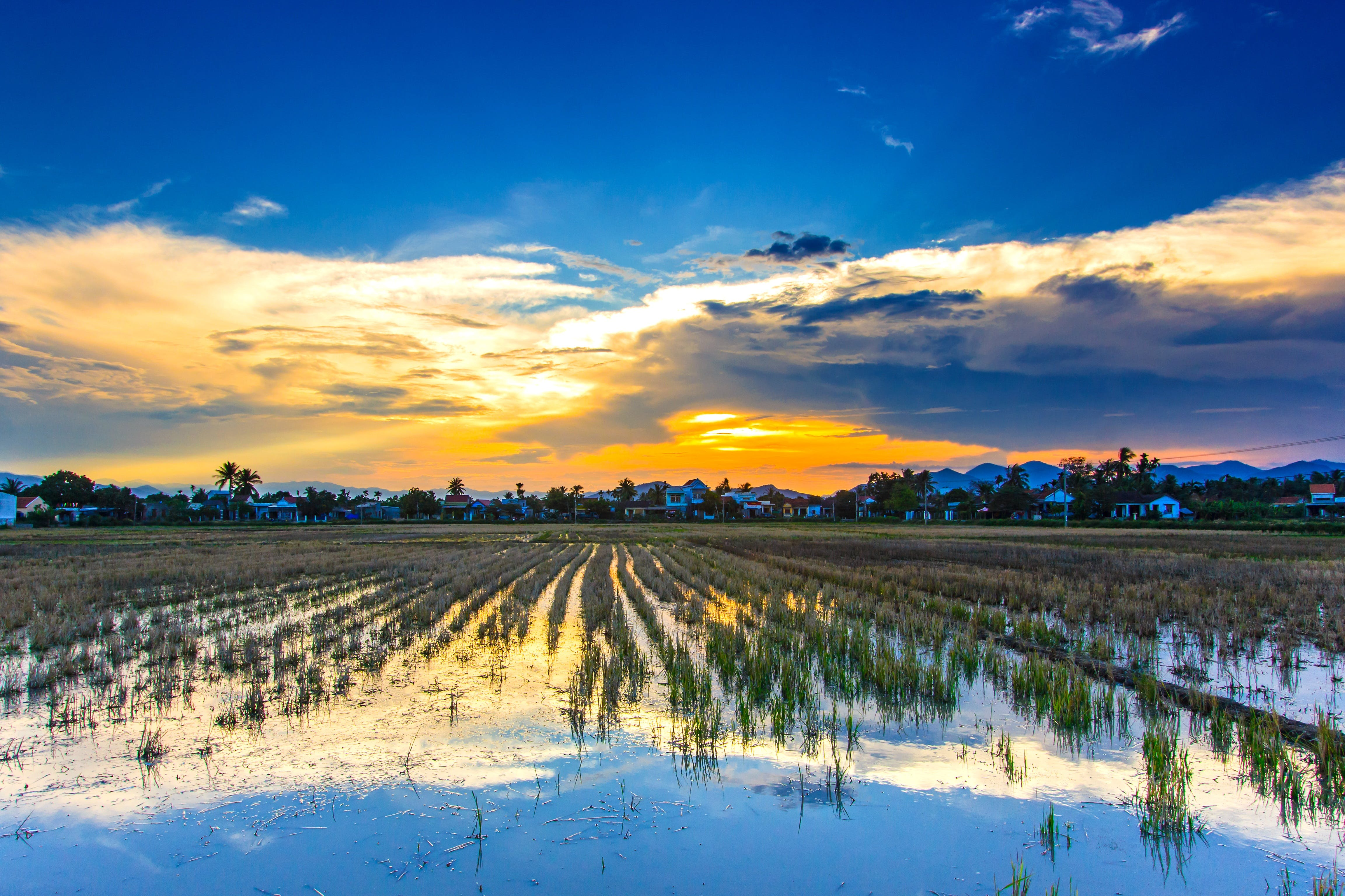 Landscape Photography of Rice Field during Golden Hour