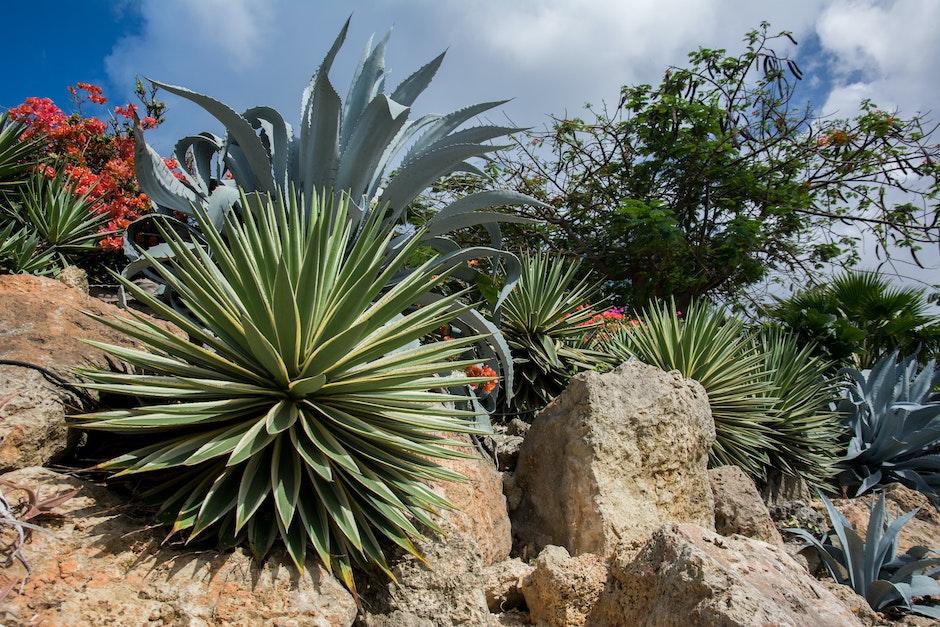 agave, desert, nature