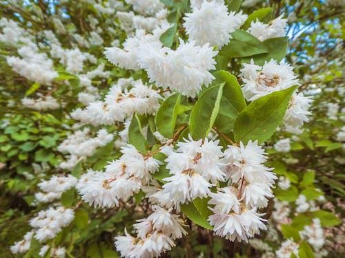Foto stok gratis bunga, bunga mekar, bunga putih, bunga-bunga