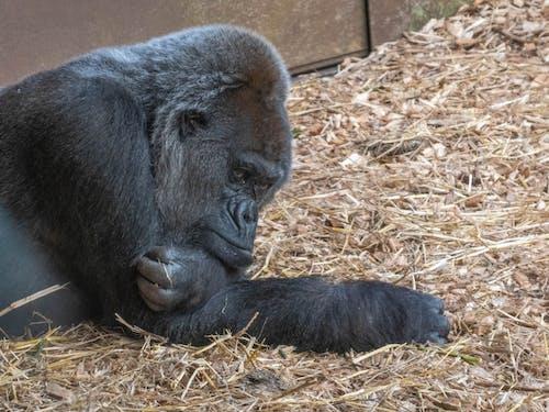 Foto stok gratis binatang, fotografi binatang, gorila, kebun binatang
