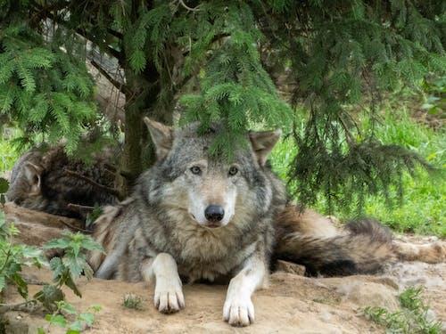 Photos gratuites de amoureux des animaux de compagnie, animal, animaux, loup