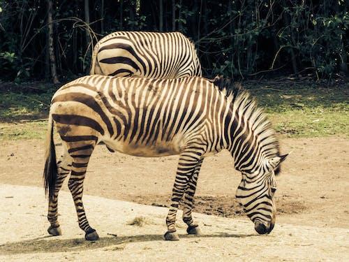 Foto stok gratis binatang, fotografi binatang, kebun binatang, kepala hewan