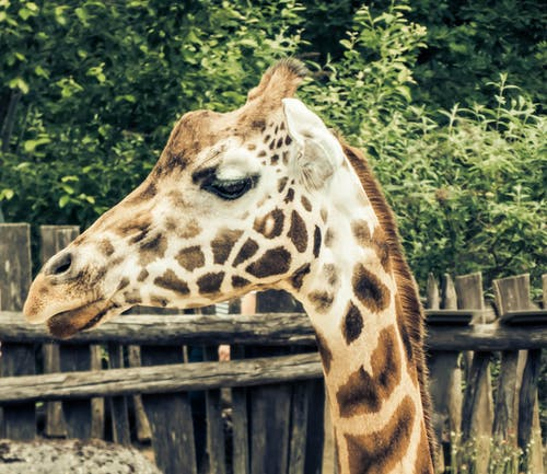Foto stok gratis binatang, binatang imut, fotografi binatang, jerapah