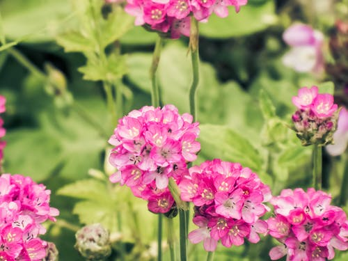 Foto stok gratis berwarna merah muda, bunga mekar, bunga merah jambu, bunga yang indah