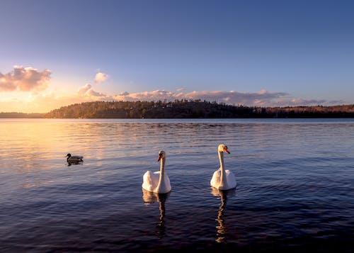 天鵝, 平靜, 斯德哥爾摩, 日出 的 免费素材照片