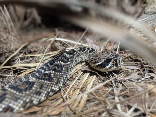 Photo of a rattle snake