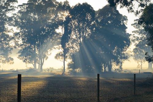 Kostnadsfri bild av dimmig morgon, eukalyptusträd, hage, landsbygden