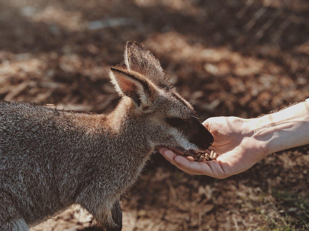 joeys, 公園, 動物