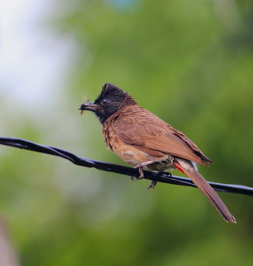 Gratis lagerfoto af #dyr, #fugl, #nature_photography, #red_vented_bulbul