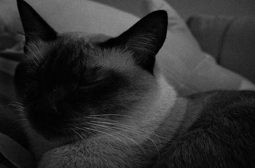 Photos gratuites de animal de compagnie, bnw, chats, zen