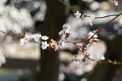 Foto d'estoc gratuïta de branca d'arbre, brots de flors, flors, flors blanques