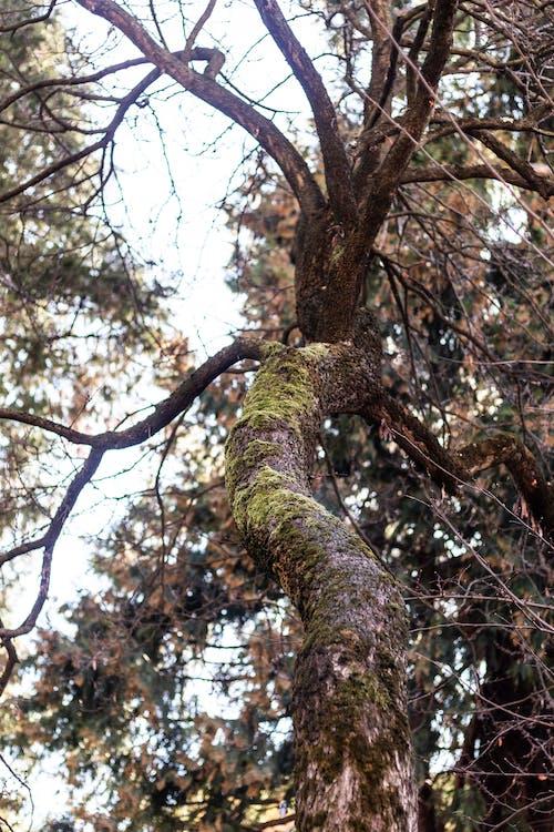 Foto d'estoc gratuïta de arbre, branques d'arbre, molsa, tronc d'arbre