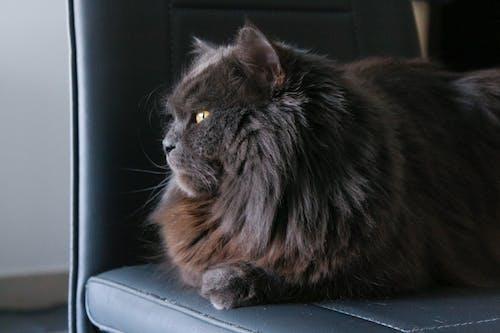 Foto d'estoc gratuïta de estoig de casa, gat, gat domèstic, majestuós