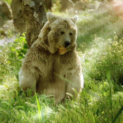 Free stock photo of backlight, bear, jungle