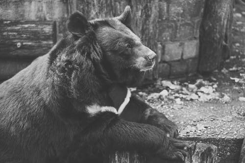 Grayscale Photo of Grizzly Bear