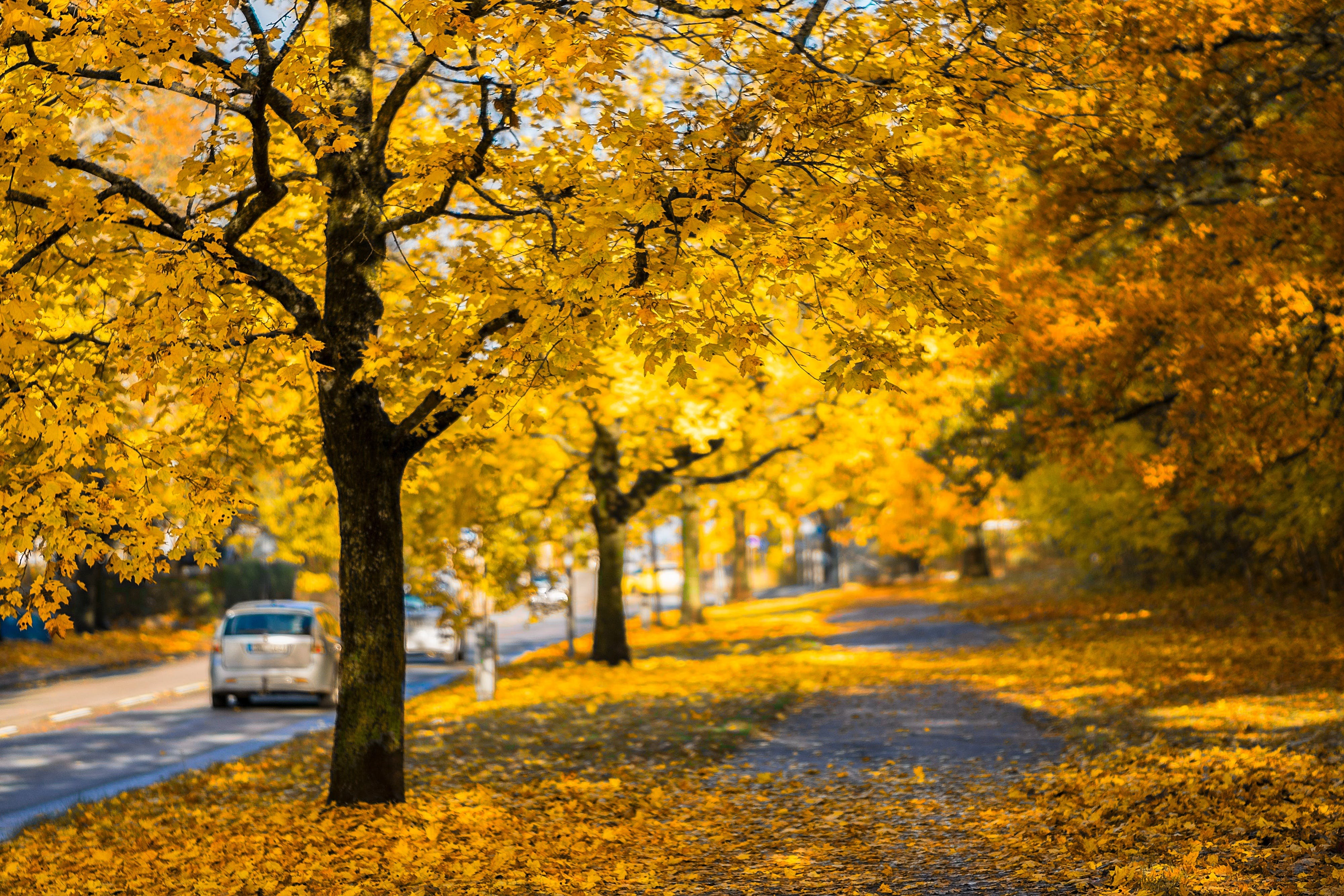 Yellow Leaf Tree Beside Roadway
