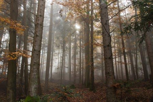 Imagine de stoc gratuită din anotimp, arțar, atmosferă, ceață