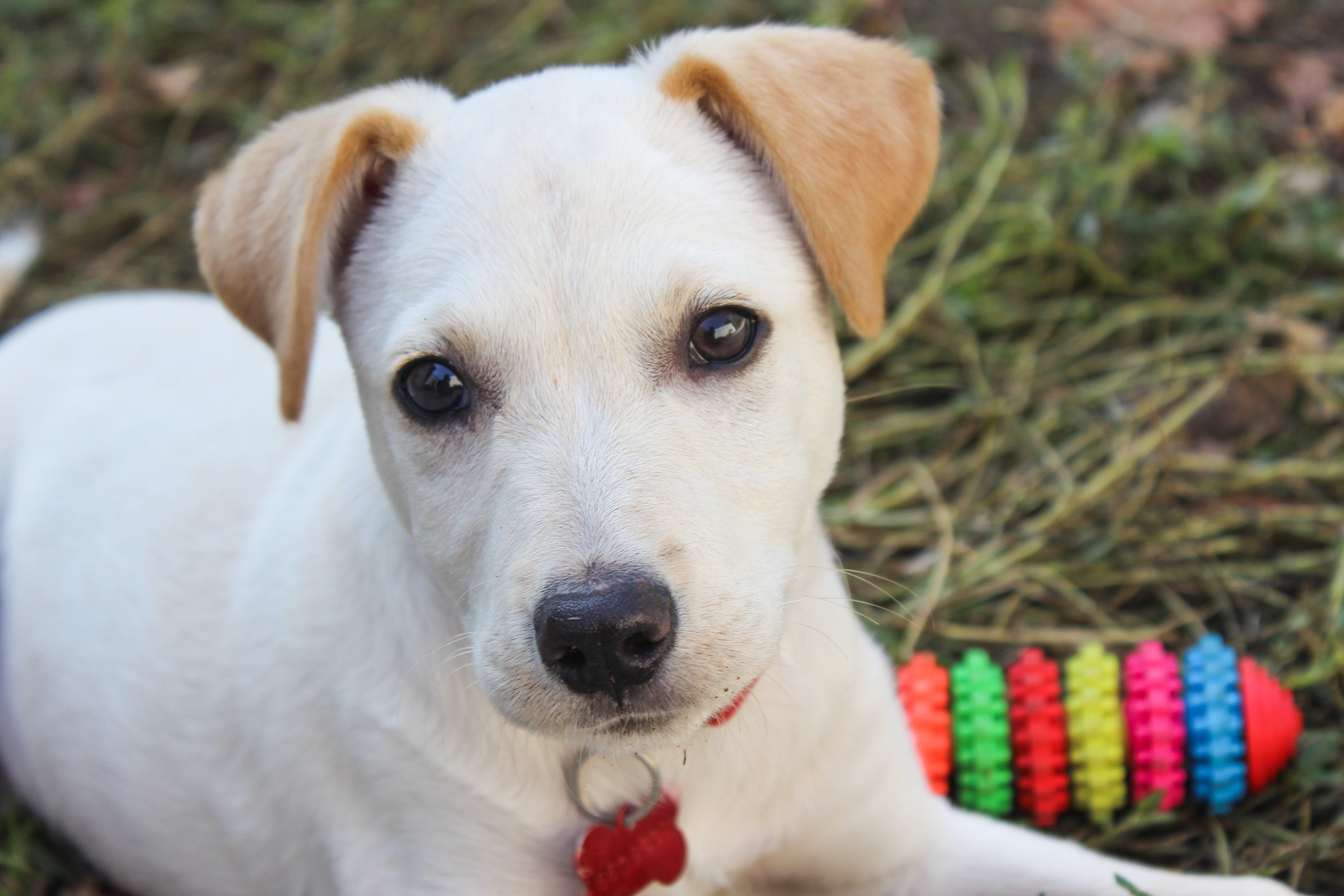 Free stock photo of animal, dog, eyes, white
