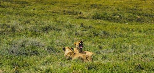 Foto d'estoc gratuïta de lleones, sabana