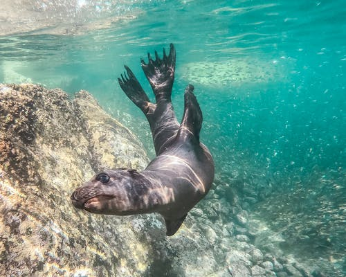 Seal In Body Of Water