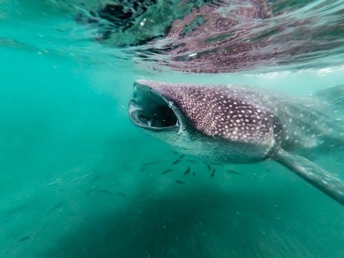 balina köpekbalığı, deniz hayatı, Deniz yaşamı, hayvan fotoğrafçılığı içeren Ücretsiz stok fotoğraf